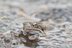 Gemeiner Frosch im Wasser Stockbild