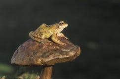 Gemeiner Frosch, Rana-temporaria Lizenzfreies Stockfoto