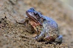 Gemeiner Frosch (Rana-temporaria) lizenzfreie stockfotografie