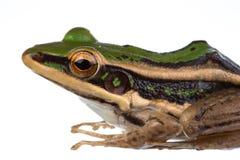 Gemeiner grüner Frosch des Asiaten lizenzfreie stockbilder