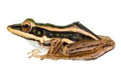 Gemeiner grüner Frosch des Asiaten Stockfoto