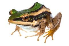 Gemeiner grüner Frosch des Asiaten lizenzfreies stockfoto