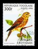 Gemeiner Hänfling (Acanthis-cannabina), exotisches Vögel serie, circa 19 Lizenzfreie Stockfotos