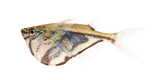 Gemeiner Hatchetfish - Gasteropelecus sternicla Lizenzfreie Stockbilder