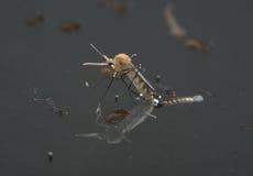 Gemeiner Hausmoskito (Culex pipiens) Stockbild