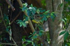 Gemeiner iora Aegithina-tiphia Vogel Lizenzfreies Stockfoto