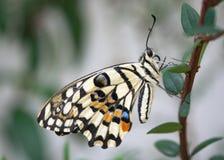 Gemeiner Kalk-Schmetterling lizenzfreie stockfotografie