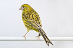 Gemeiner Kanarienvogel Stockfoto
