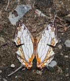 Gemeiner Karten-Schmetterling, der Lebensmittel vom Boden saugt Stockfoto