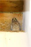 Gemeiner Kestrel auf Nest Stockfotografie