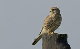 Gemeiner Kestrel (Falco tinnunculus) Stockfotografie