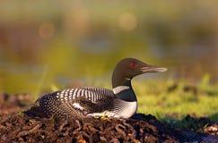 Gemeiner Loon auf Nest Lizenzfreies Stockbild