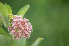 Gemeiner Milkweed Stockbild