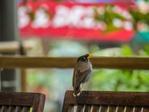 Gemeiner Myna Acridotheres-tristis Vogel sitzt auf einem Stuhl Stockbilder