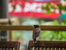 Gemeiner Myna Acridotheres-tristis Vogel sitzt auf einem Stuhl Lizenzfreie Stockfotos