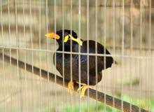 Gemeiner Myna-Vogel (Acridotheres tristis) Stockbild