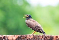 Gemeiner Myna-Vogel (Acridotheres tristis) in Thailand Stockfoto