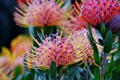 Gemeiner Nadelkissen Protea Stockbild