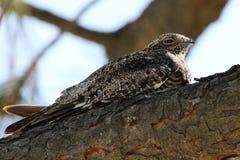 Gemeiner Nighthawk - Chordeilesminderjähriger Lizenzfreie Stockbilder