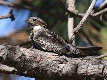 Gemeiner Nighthawk im Sonnenlicht Lizenzfreie Stockfotos