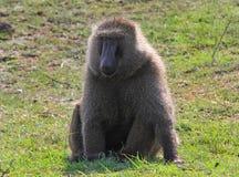 Gemeiner Pavian, der auf dem grünen Gras in Kenia stillsteht Lizenzfreie Stockfotos