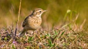 Gemeiner Pipit, kleiner Vogel auf Augenhöhe Lizenzfreie Stockfotos