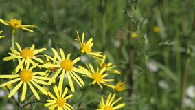 Gemeiner Ragwort (Senecio jacobaea) stock video