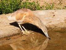 Gemeiner Rallenreiher - Ardeola-ralloides - D-Klipp Wasser Stockfotografie