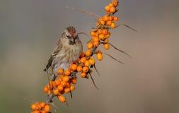 Gemeiner Redpoll - Acanthis-flammea Lizenzfreie Stockfotos