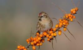 Gemeiner Redpoll - Acanthis-flammea Lizenzfreie Stockfotografie