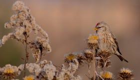 Gemeiner Redpoll - Acanthis-flammea Stockfoto