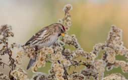 Gemeiner Redpoll - Acanthis-flammea/Carduelis flammea Stockfoto