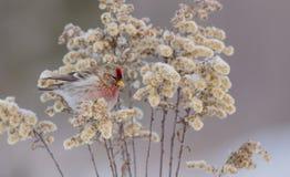 Gemeiner Redpoll - Carduelis flammea/Acanthis-flammea Lizenzfreies Stockbild