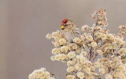 Gemeiner Redpoll - Carduelis flammea/Acanthis-flammea Stockfotografie