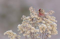 Gemeiner Redpoll - Carduelis flammea/Acanthis-flammea Lizenzfreie Stockbilder