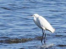 Gemeiner Reiher ist Spezies von pelecaniform Vogel Lizenzfreies Stockfoto