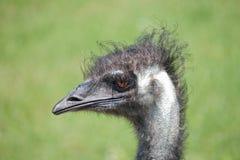 Gemeiner Rhea (Rhea Americana) - verschönern Sie orientati landschaftlich Stockfotografie