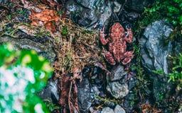 Gemeiner roter kleiner Frosch Anura in seinem natrual Umgeben lizenzfreie stockfotos