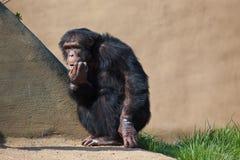 Gemeiner Schimpanse Stockfoto
