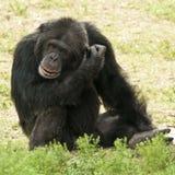 Gemeiner Schimpanse Stockfotos