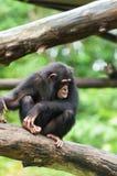 Gemeiner Schimpanse Stockfotografie