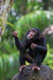 Gemeiner Schimpanse Lizenzfreie Stockbilder
