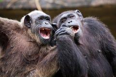 Gemeiner Schimpanse, der als Nächstes in der Liebe sitzt Stockfotografie