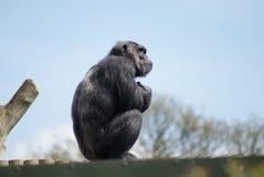 Gemeiner Schimpanse - Pan-Höhlenbewohner - Aufpassen Stockfotos