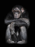 Gemeiner Schimpanse (Wanne Troglodytes) Lizenzfreie Stockbilder