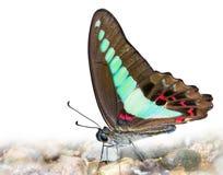 Gemeiner Schmeißfliege-Schmetterling Stockfoto