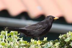 Gemeiner schwarzer Vogel Stockfotos
