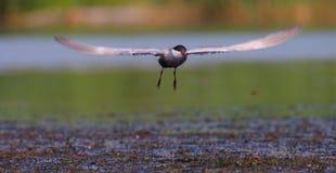 Gemeiner Seeschwalbe Sterna Hirundo im Flug Lizenzfreies Stockbild