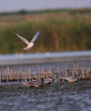 Gemeiner Seeschwalbe Sterna Hirundo im Flug Stockfotografie