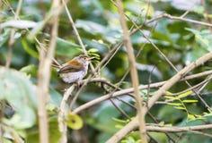 Gemeiner Tailorbird in den Niederlassungen lizenzfreie stockfotos